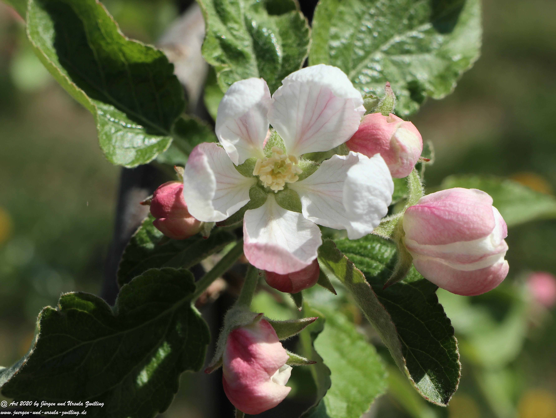 Apfelbaumblüte 13