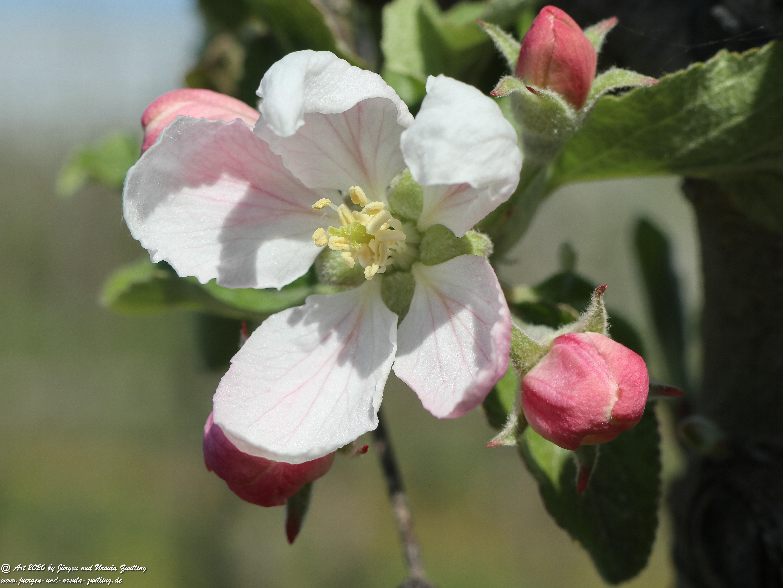 Apfelbaumblüte 14