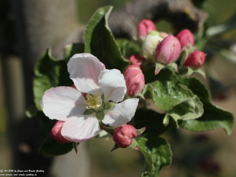 Apfelbaumblüte 15