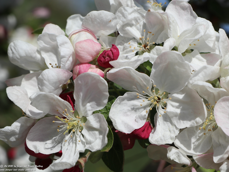 Apfelbaumblüte 16
