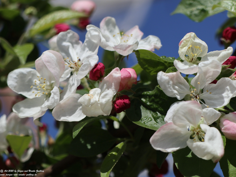 Apfelbaumblüte 17