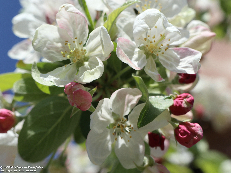 Apfelbaumblüte 18