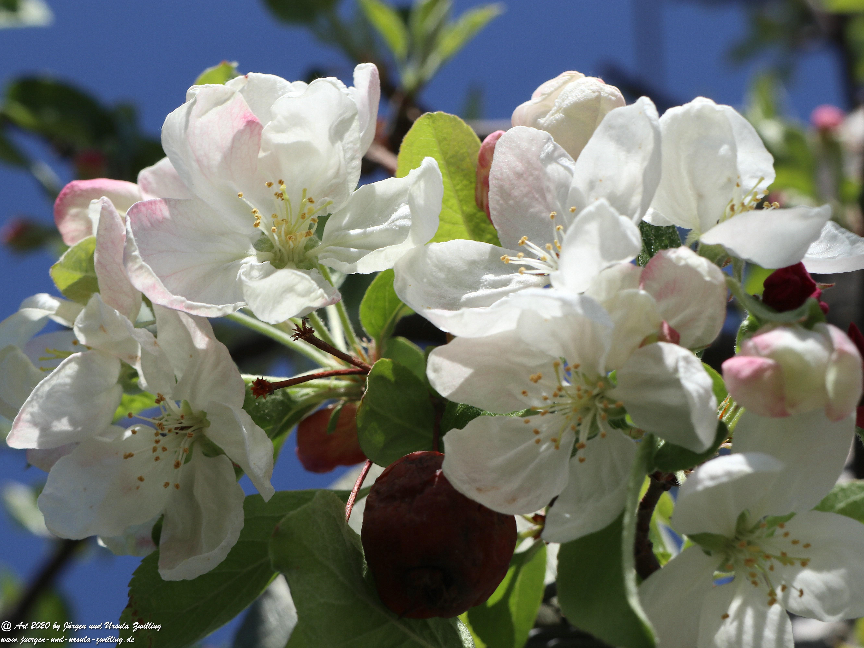 Apfelbaumblüte 19