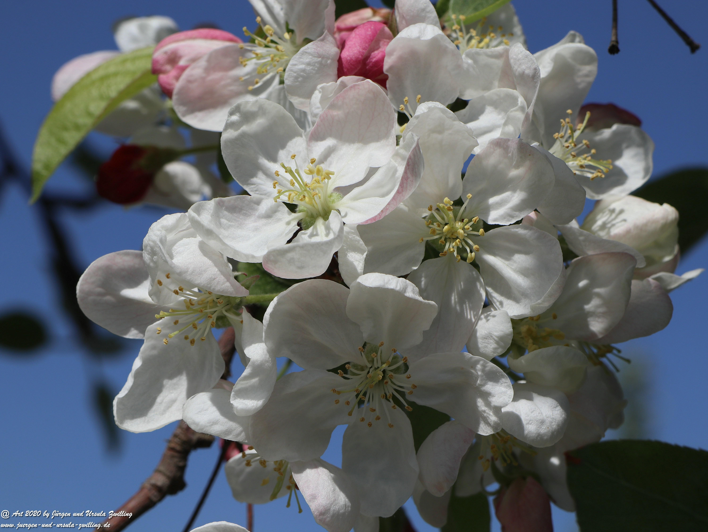 Apfelbaumblüte 20