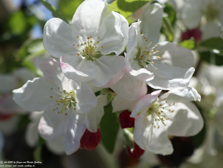 Apfelbaumblüte 21