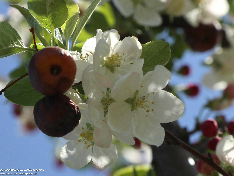 Apfelbaumblüte 22