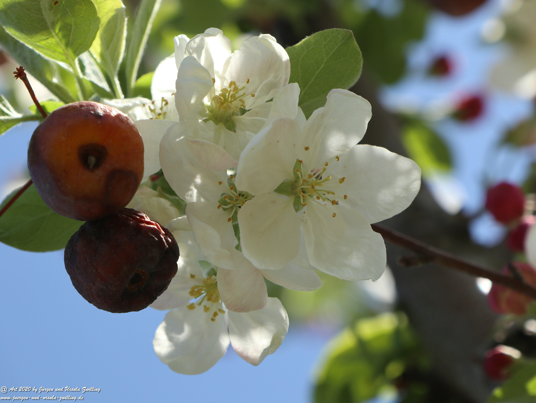 Apfelbaumblüte 23