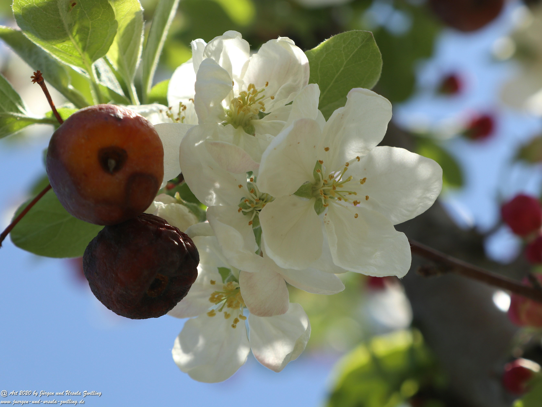 Apfelbaumblüte 24