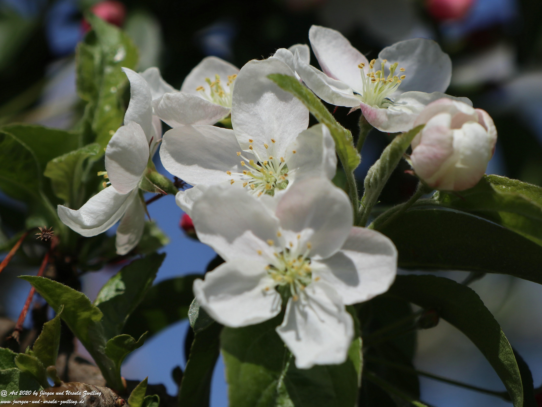 Apfelbaumblüte 26