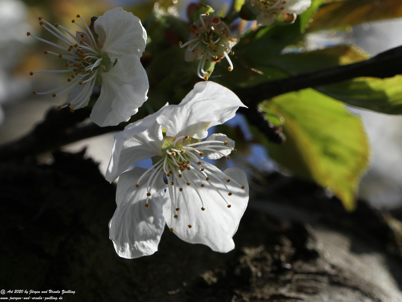 Kirschbaumgartenblüte 1