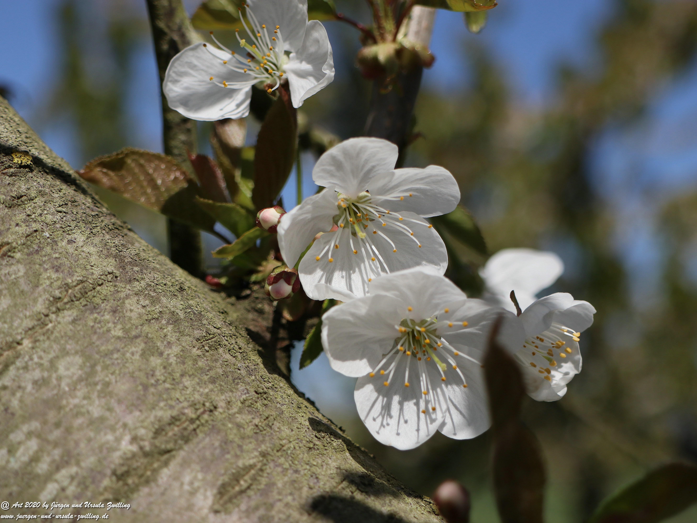 Kirschbaumgartenblüte 2