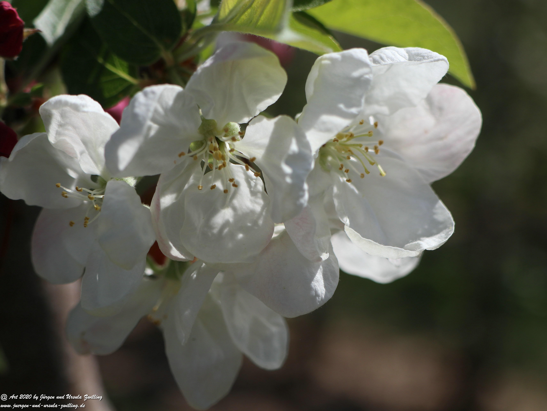 Kirschbaumgartenblüte 3