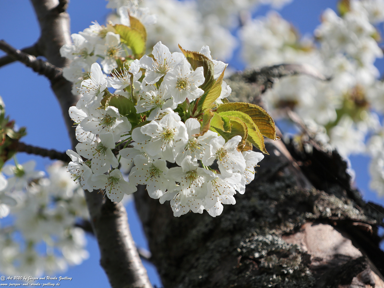 Kirschbaumgartenblüte 4