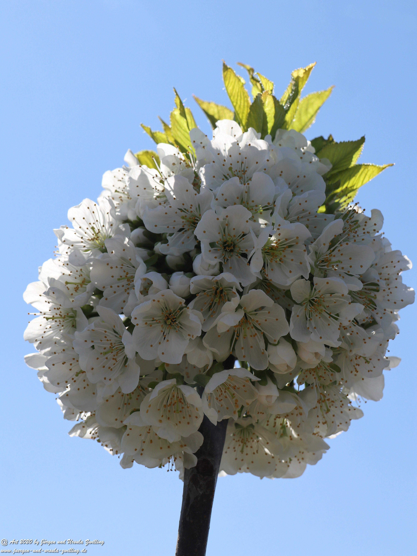 Kirschbaumgartenblüte 5