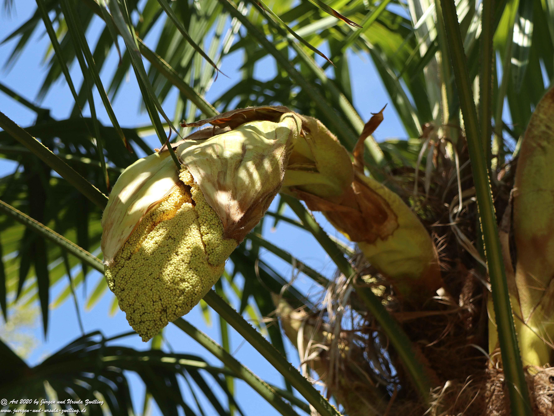 Start der Palmenblüte 1