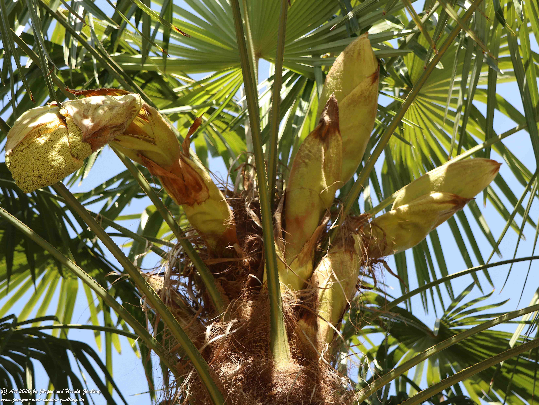 Start der Palmenblüte 2