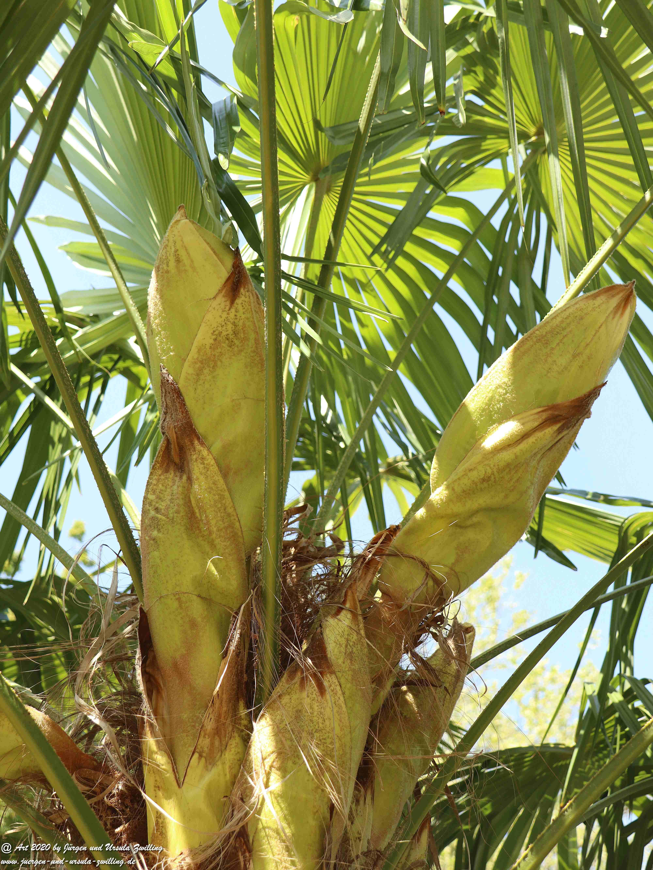 Start der Palmenblüte 4