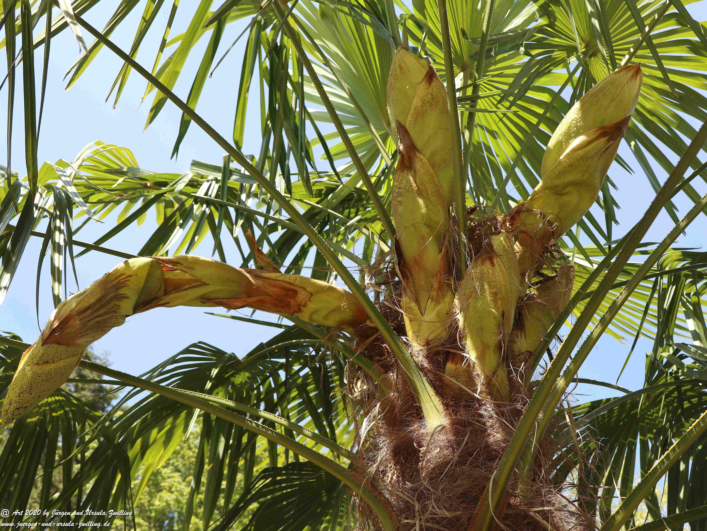 Start der Palmenblüte 5