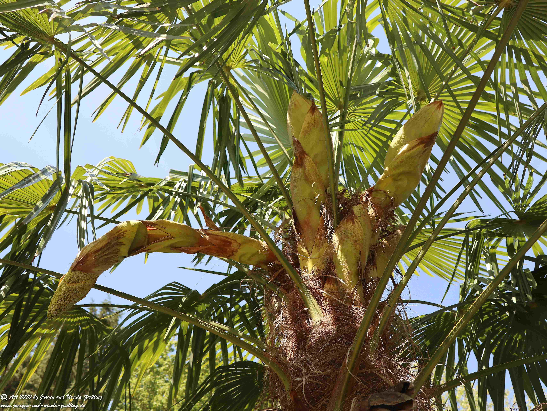 Start der Palmenblüte 6