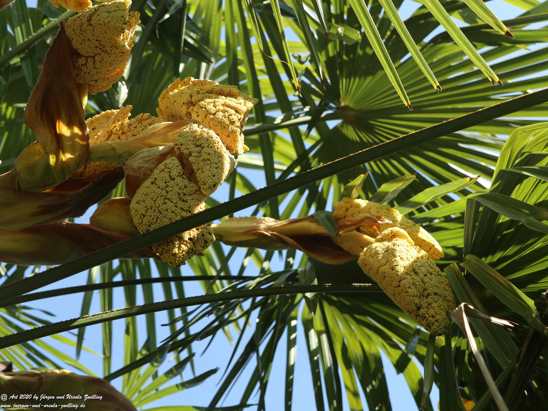 Palmenblüte 1