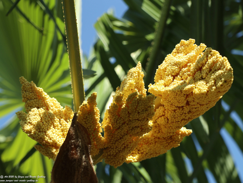 Palmenblüte 2