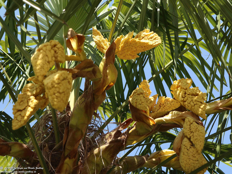 Palmenblüte 4