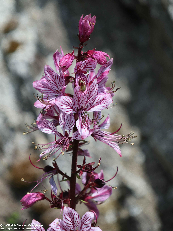 Rhein - Orchidee 2