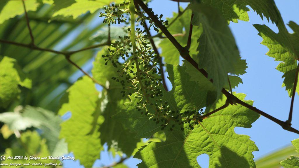 Weintrauben - Trauben