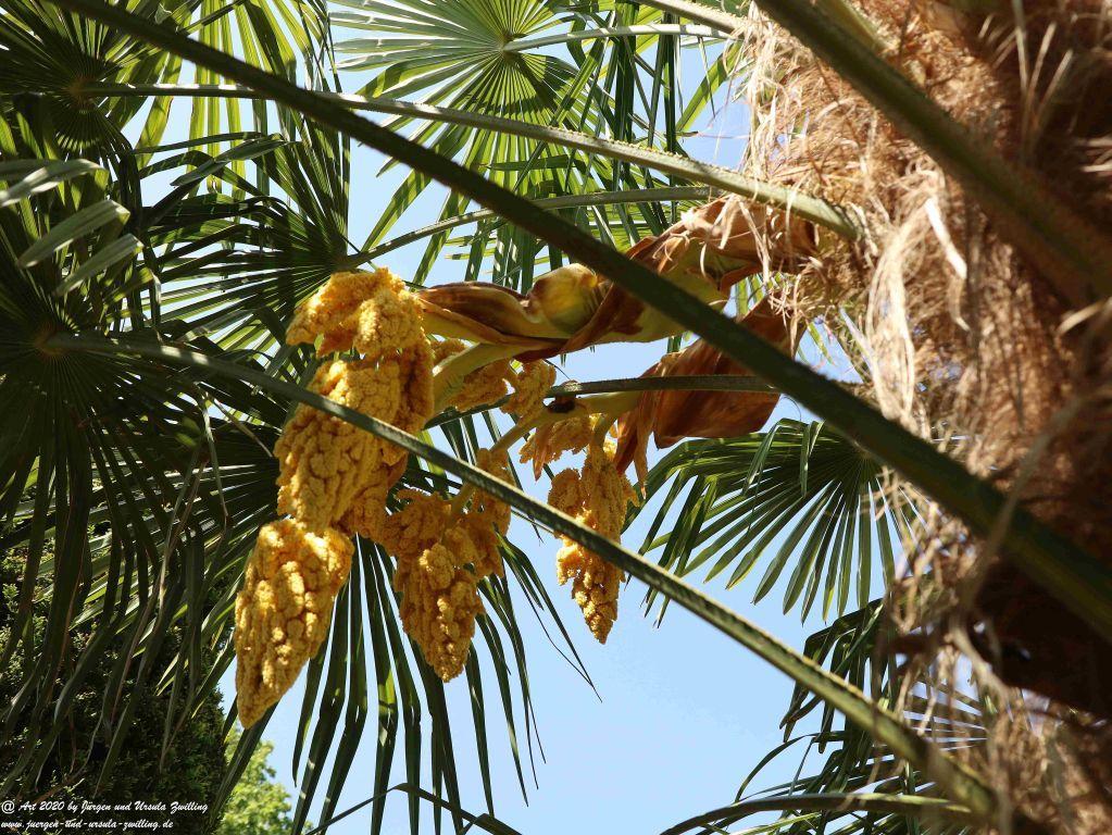 Palmenblüte