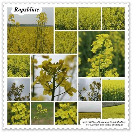 Rapsblüte - Rheinhessen