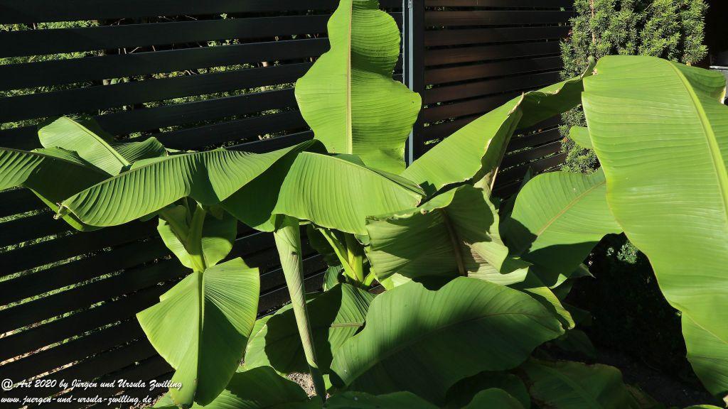 Bananen (Musa) (winterhart)