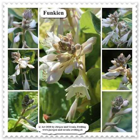 Funkien - Herzblattlilien