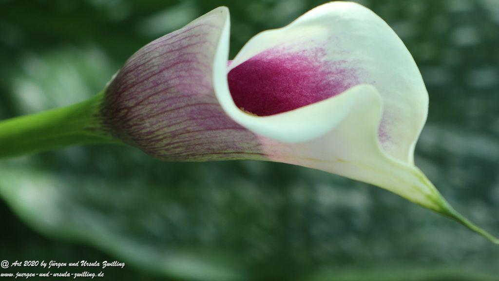 Drachenwurz (Calla palustris)