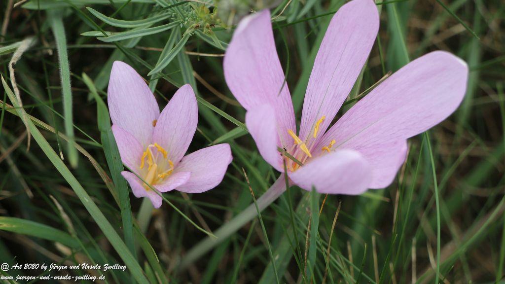 Herbstzeitlose - Colchicum autumnale Ransel - Wisper - Taunus
