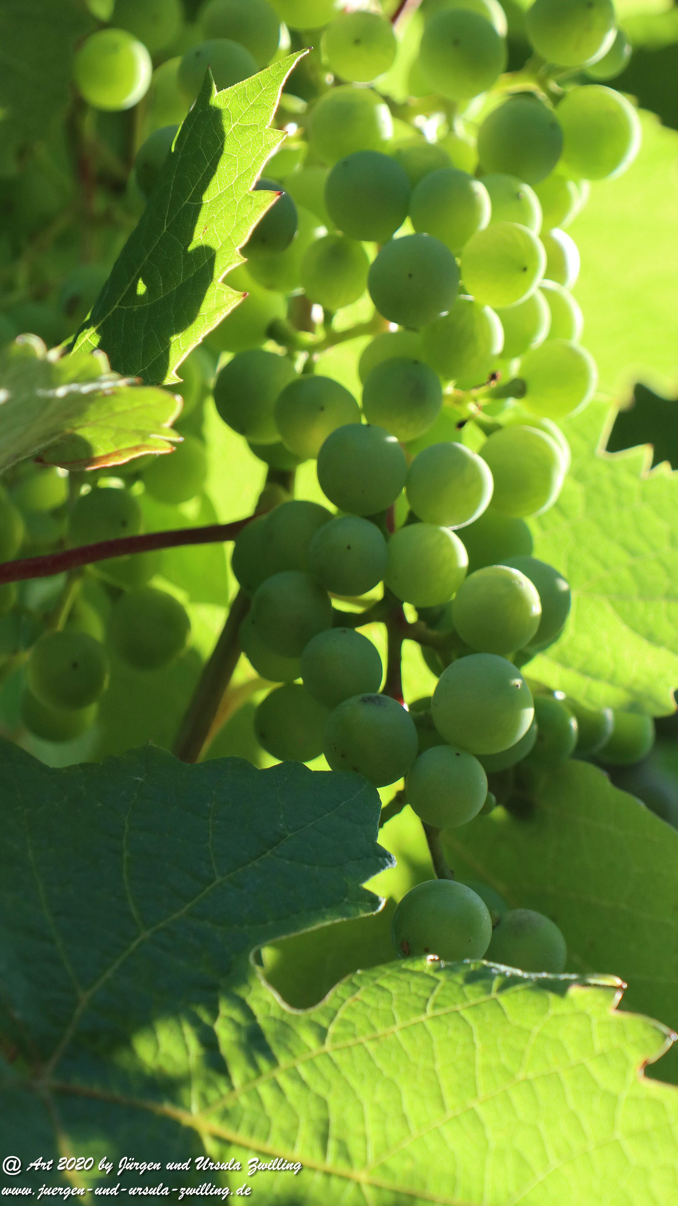 Weintrauben 1