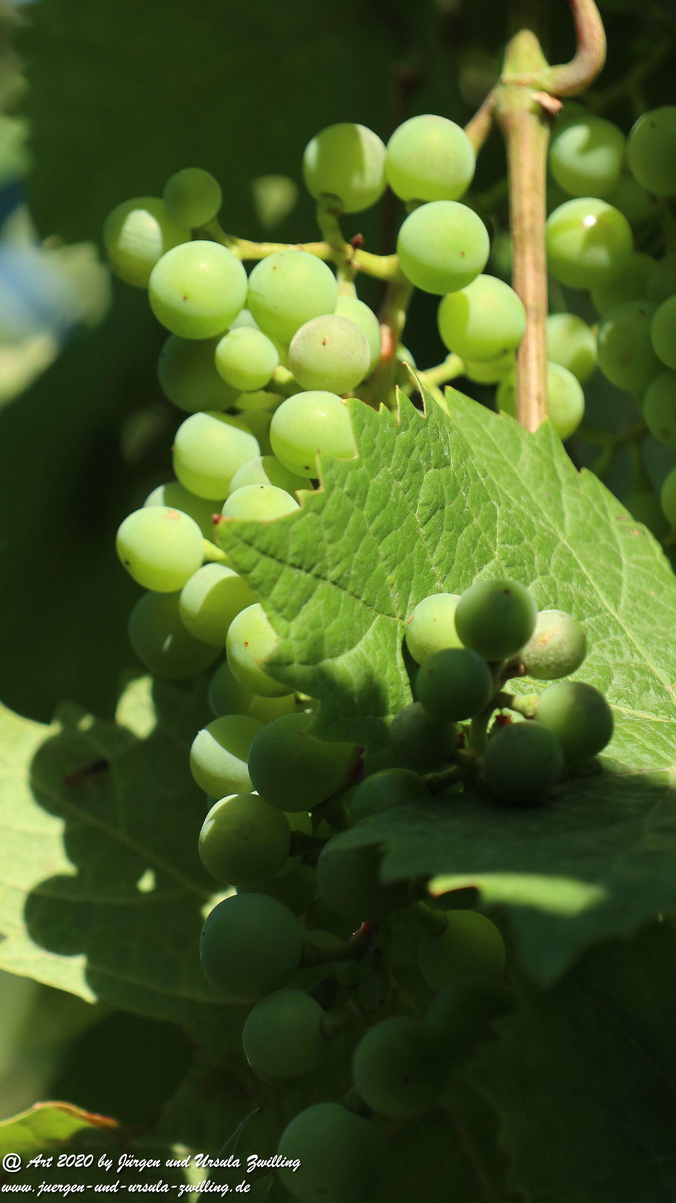 Weintrauben 2