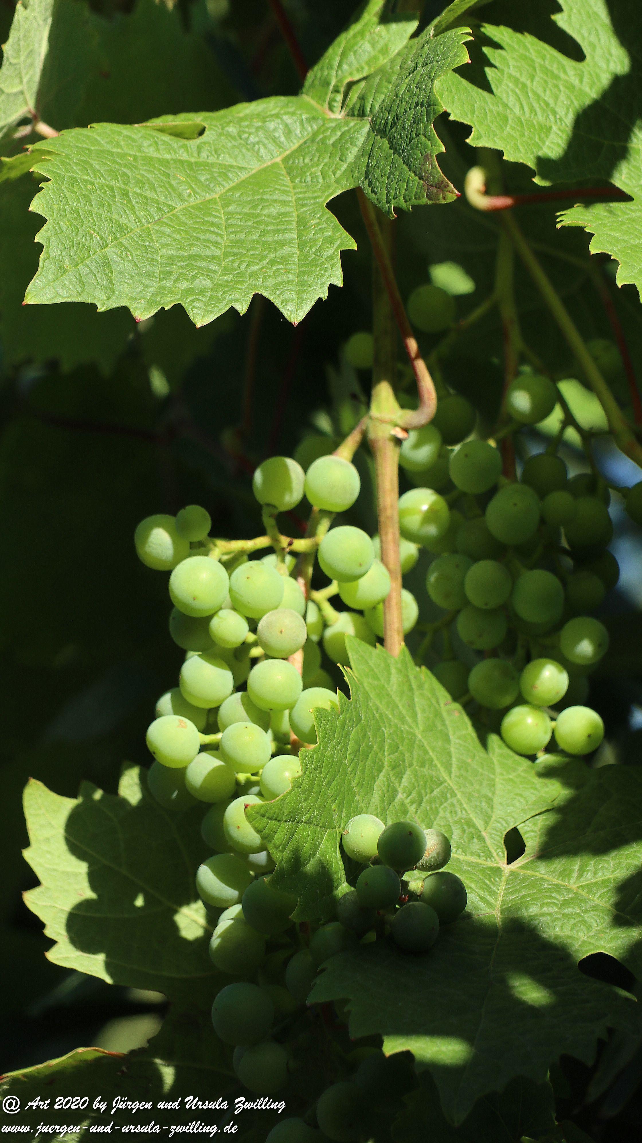 Weintrauben 3