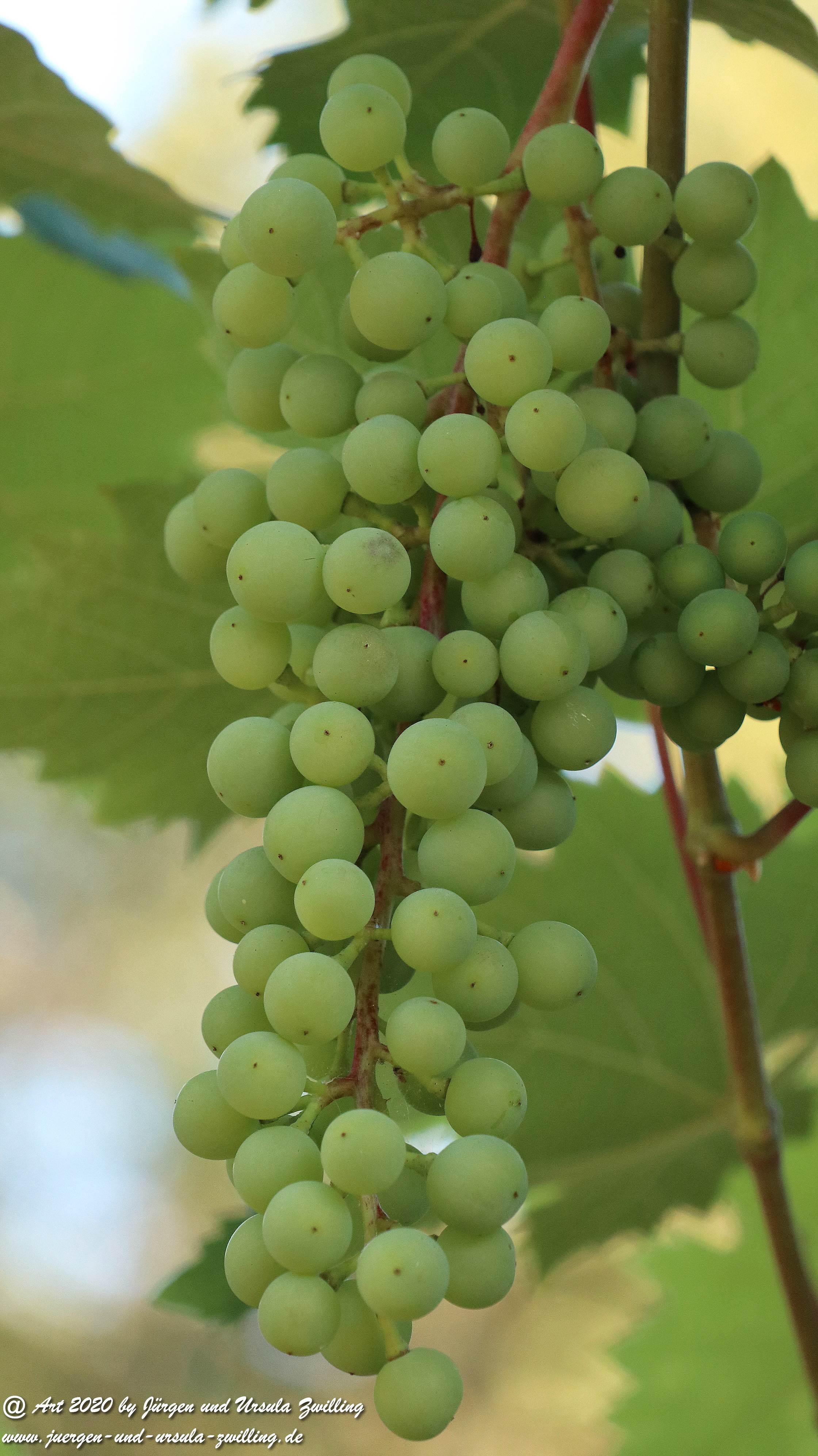 Weintrauben 4