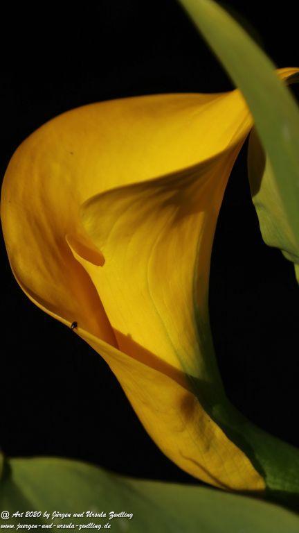 Drachenwurz gelb (Calla palustris gelb)