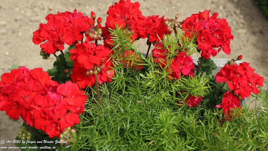 Geranie -  Pelargonie (Pelargonium)