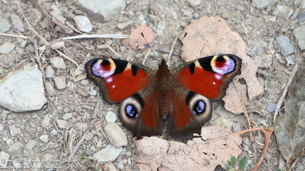 Tagpfauenauge - Schmetterling - Ransel - Wisper - Taunus