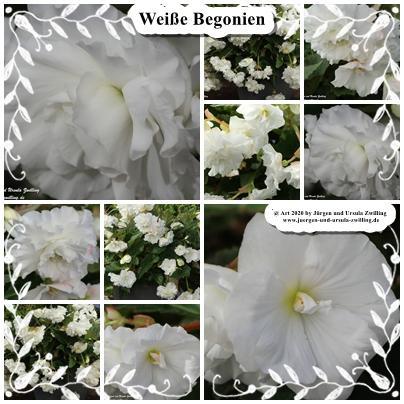 Weiße Begonien