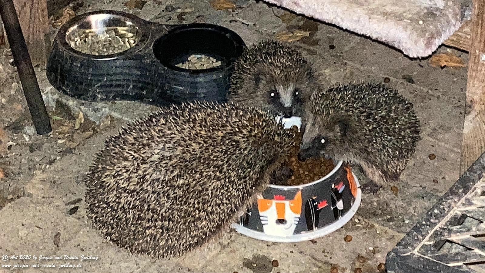 Wild - Igel - Familien - Mahlzeit