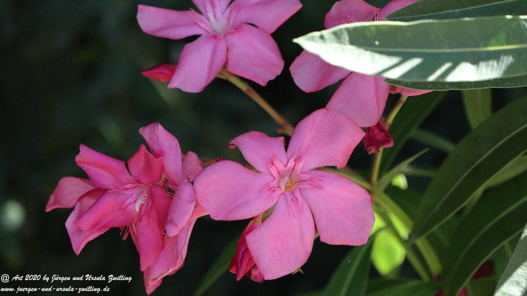 Oleander -Rosenlorbeer