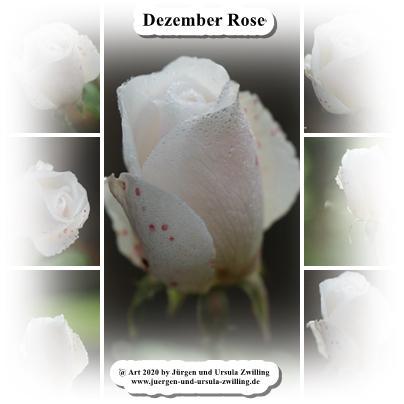 Dezember Rose