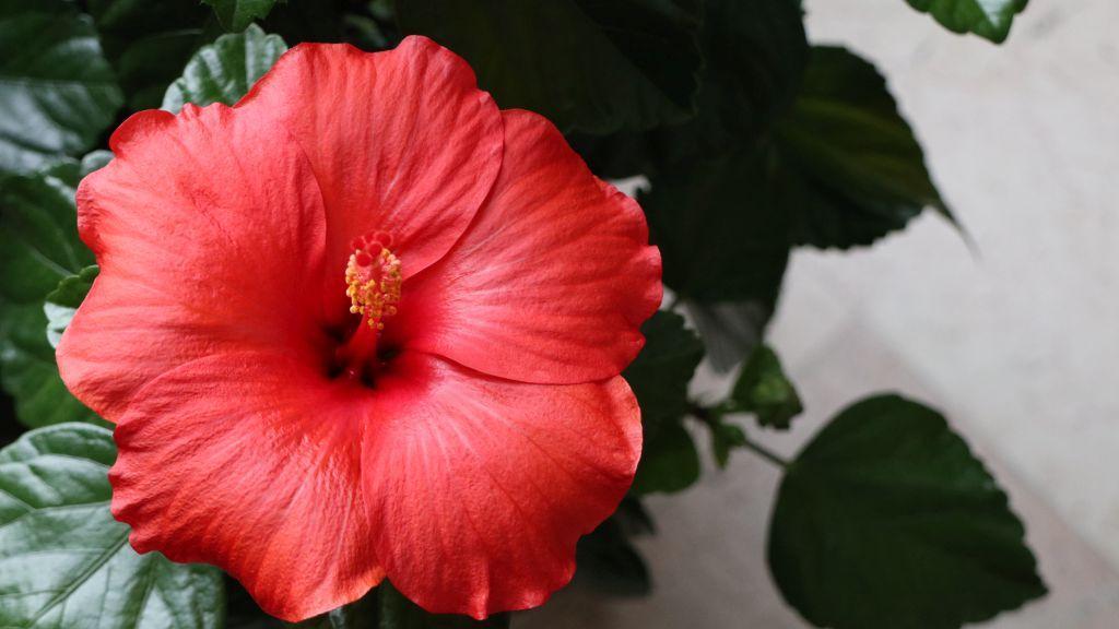 Chinesische Roseneibisch, auch Chinesische Rose, Zimmer-Hibiskus