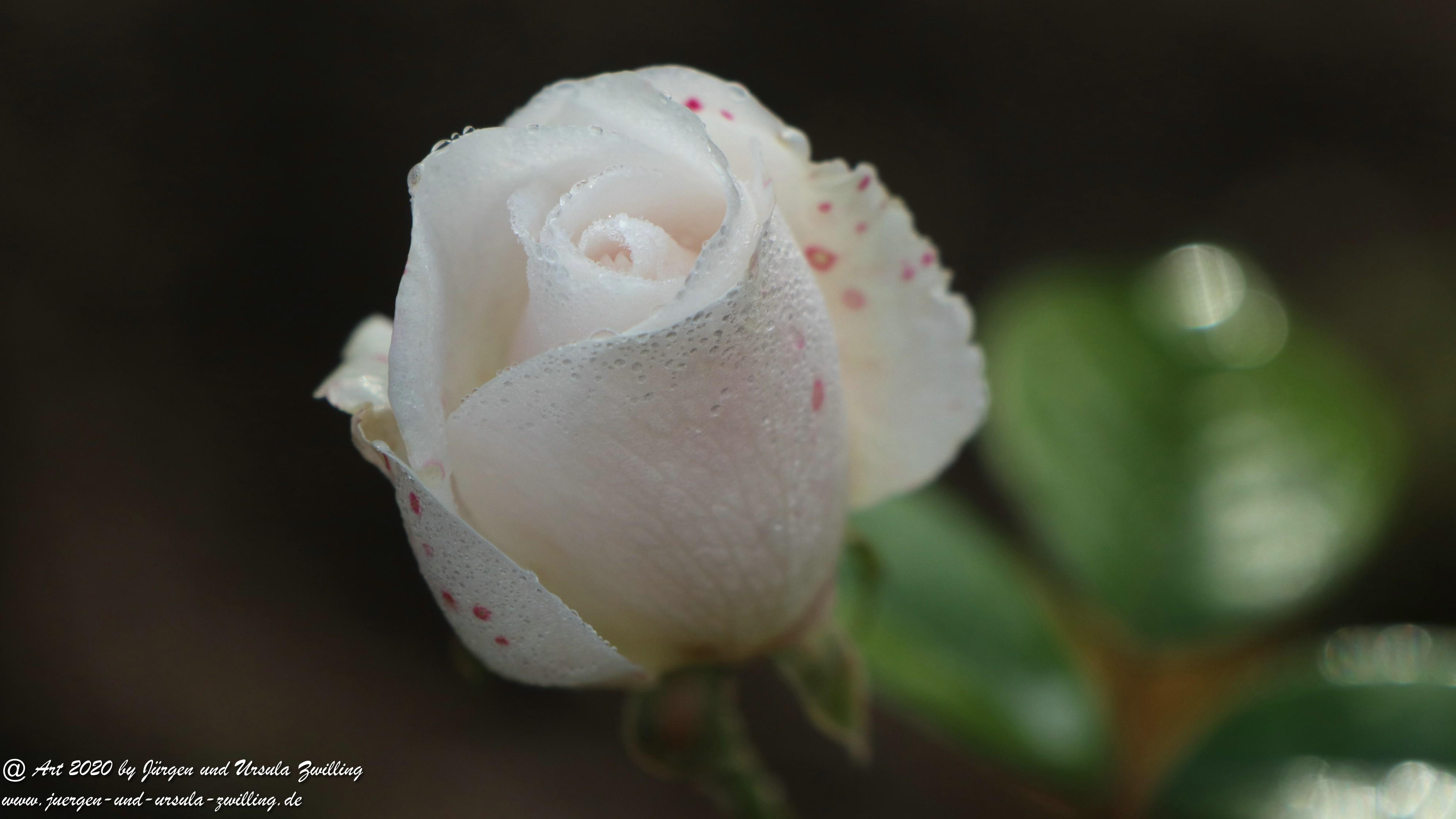 Dezember Rose 1