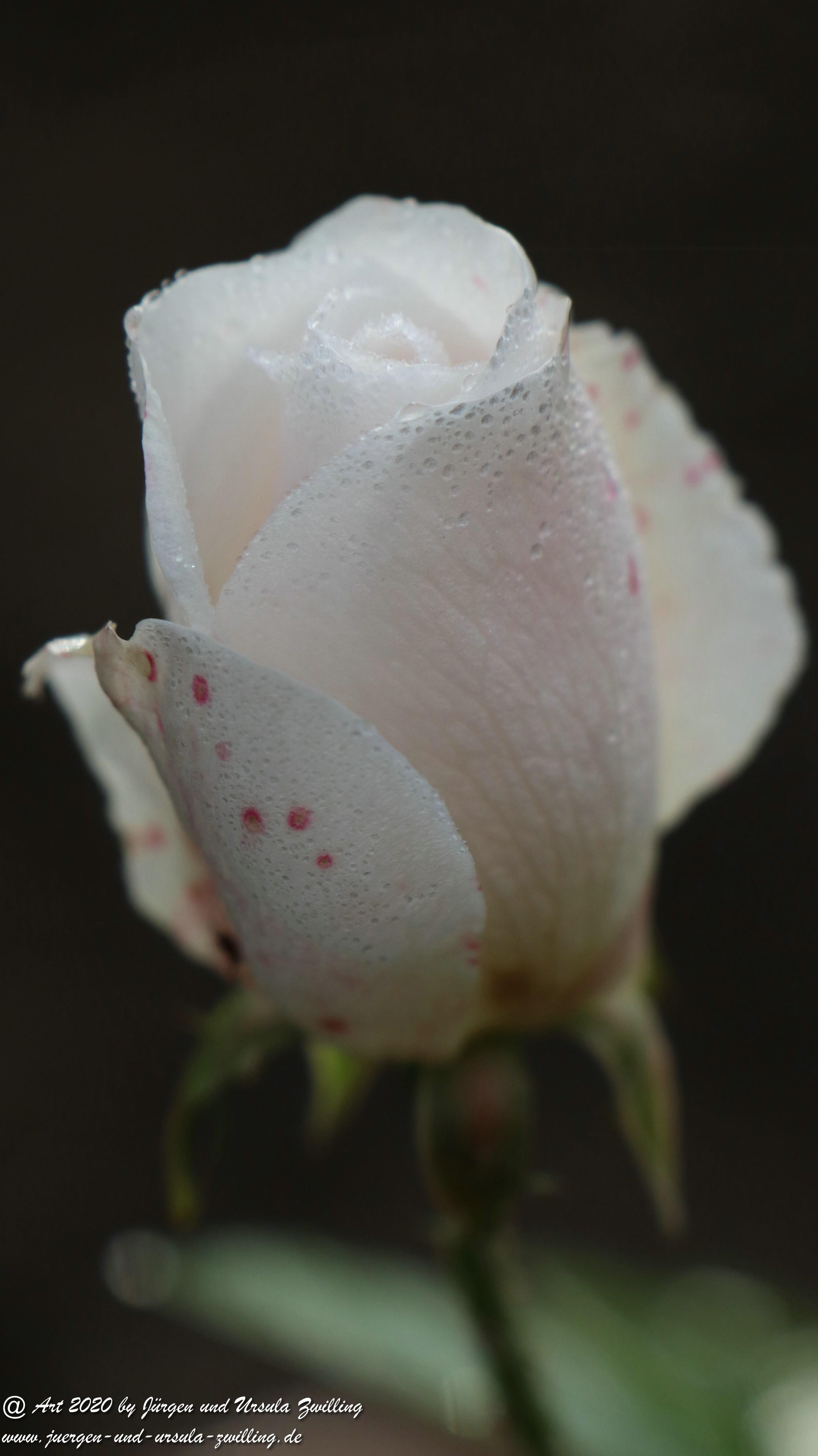 Dezember Rose 2