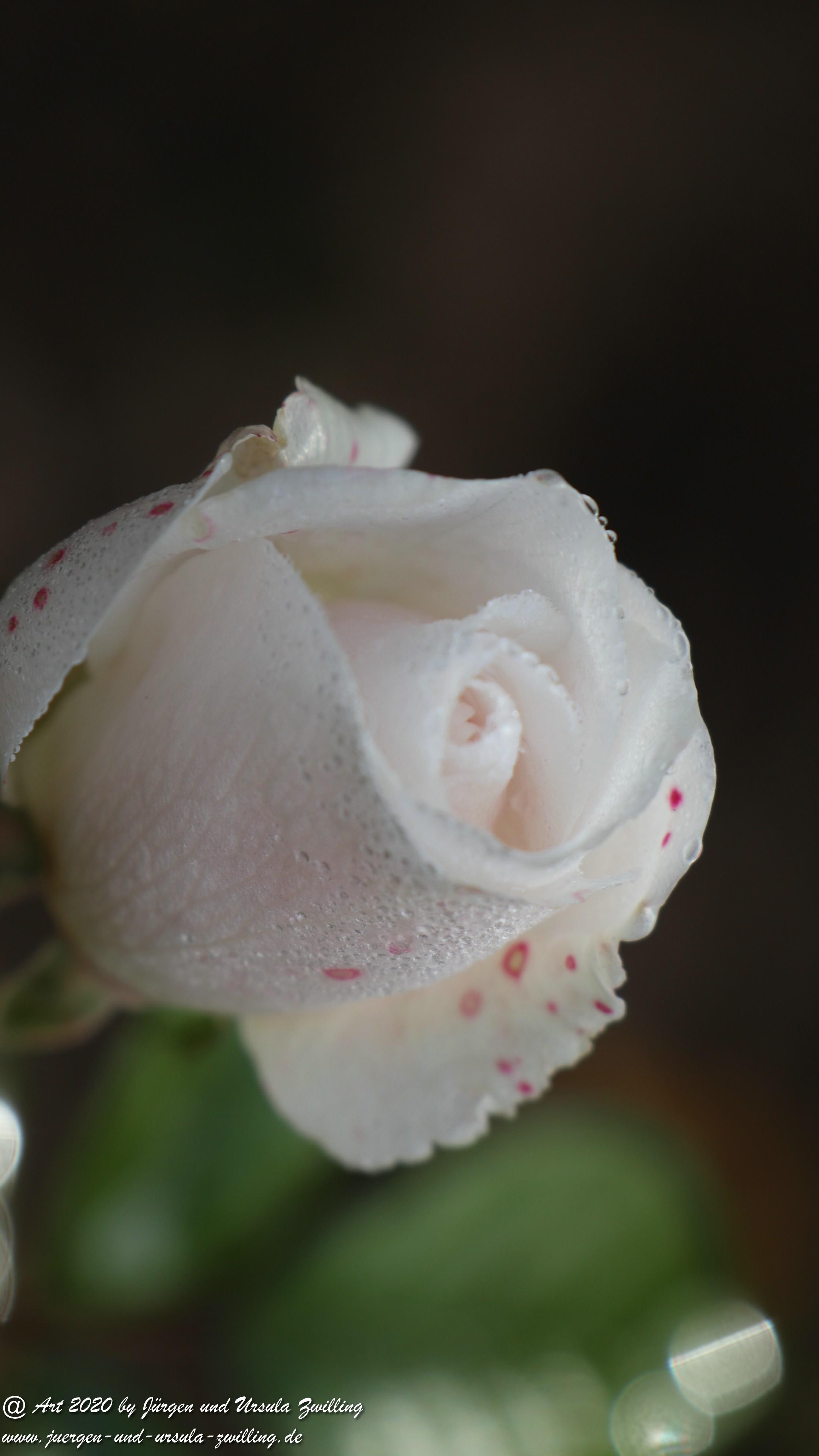 Dezember Rose 3