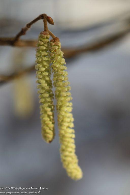 Haselnuss Blüte - Ober Olmer Wald - Rheinhessen